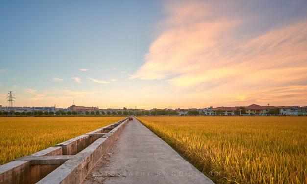 城市里的一片稻田-东莞周屋